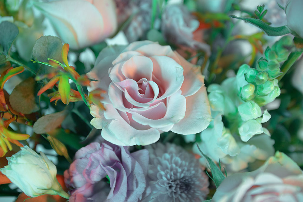 rosa-caricia-snapdragon