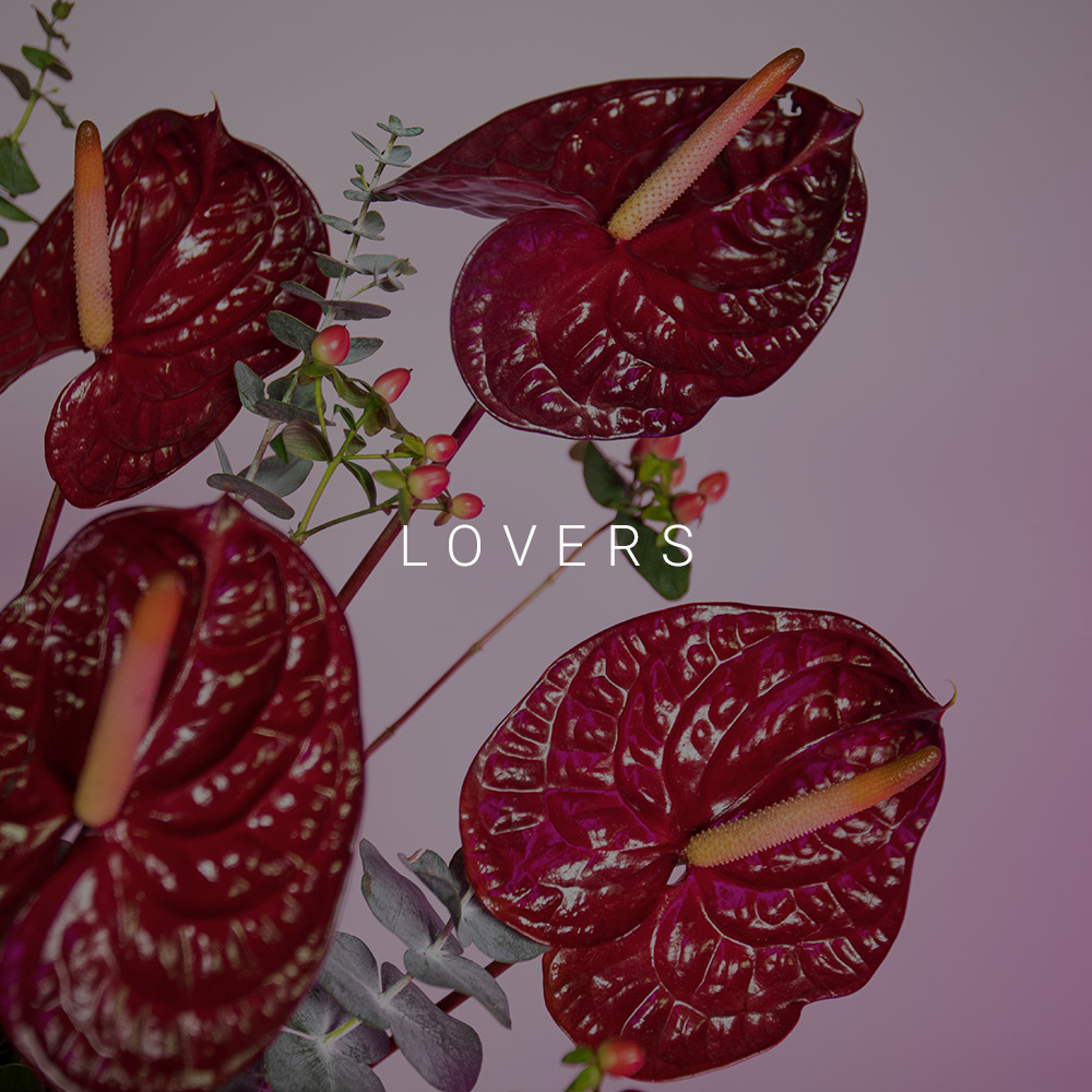 lovers-anthurium